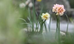 缥缈水仙花