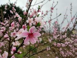 金色黄庄赏桃花