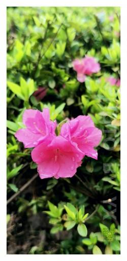 圣泉公园-花卉特写-荣耀20PRO-F