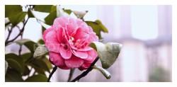 圣泉公园-花卉特写-荣耀20PRO-N