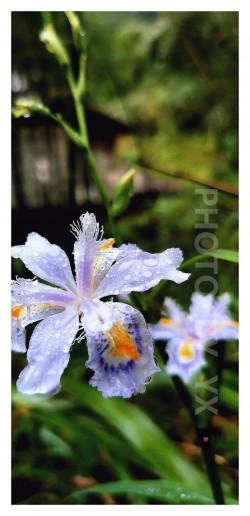 圣泉公园-花卉特写-荣耀20PRO-I